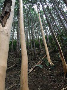 残す木と皮をむいた木が点在