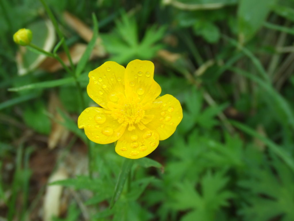 黄色い花と雨粒