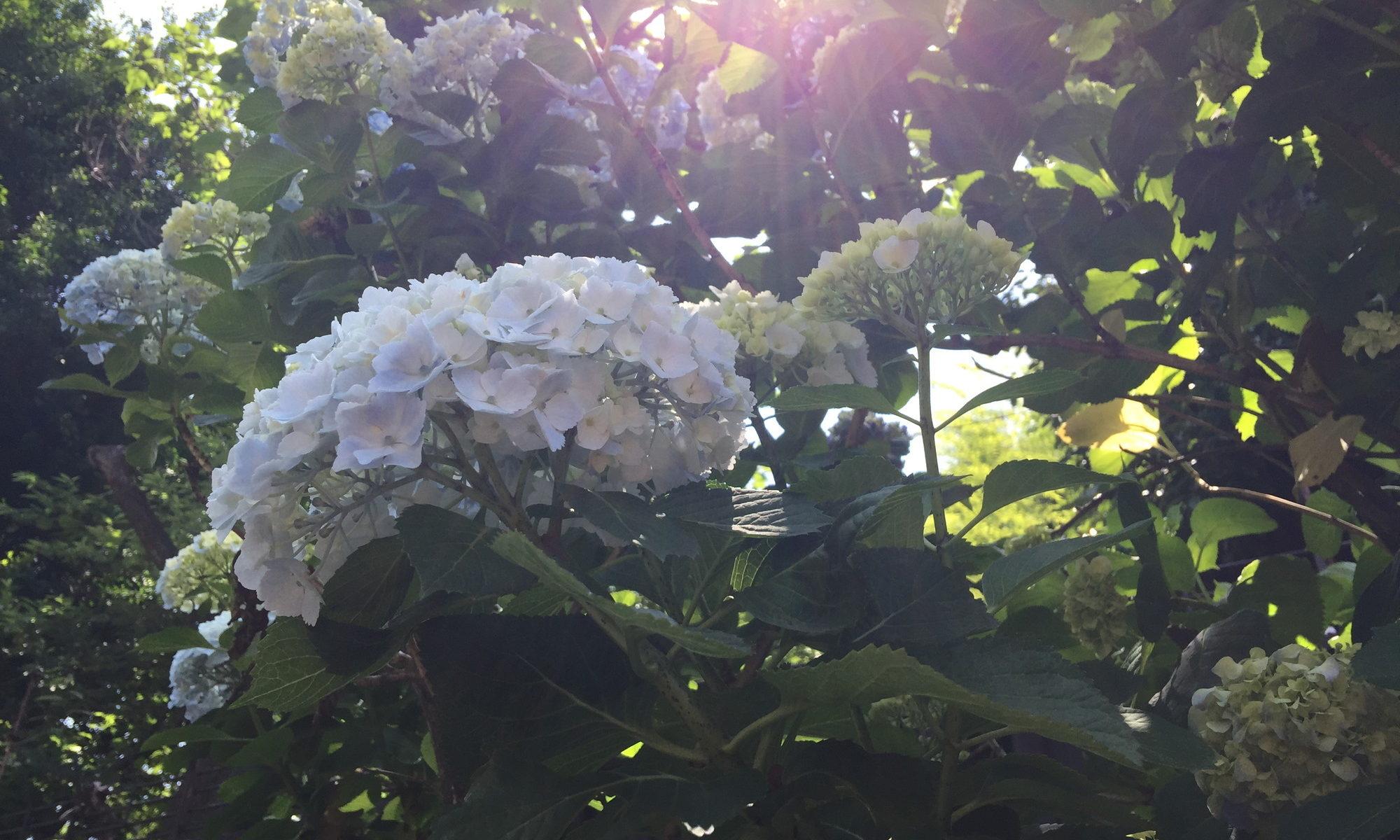 陽射しと紫陽花