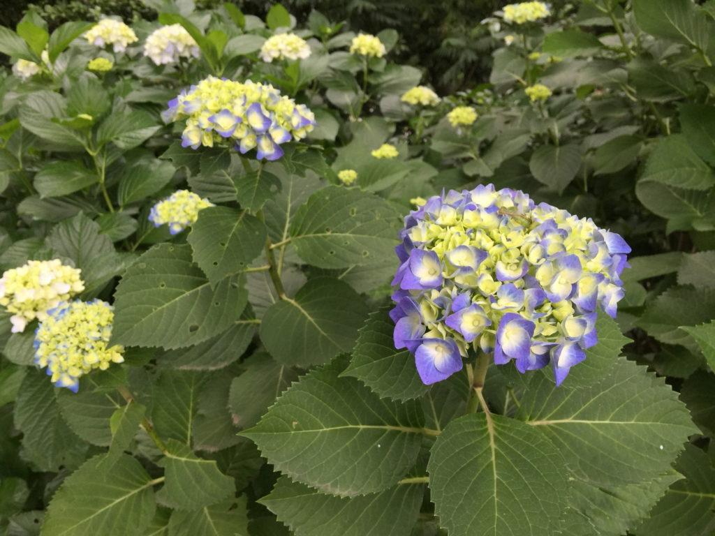 青と黄の紫陽花