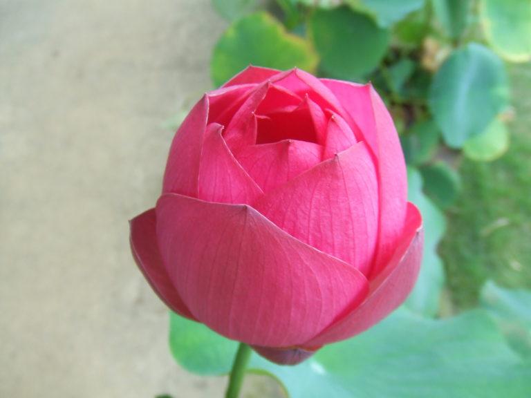 蓮の花のつぼみ