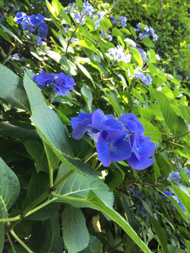 青い紫陽花を横から見る