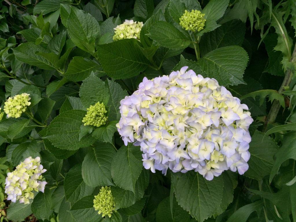 薄い青の紫陽花