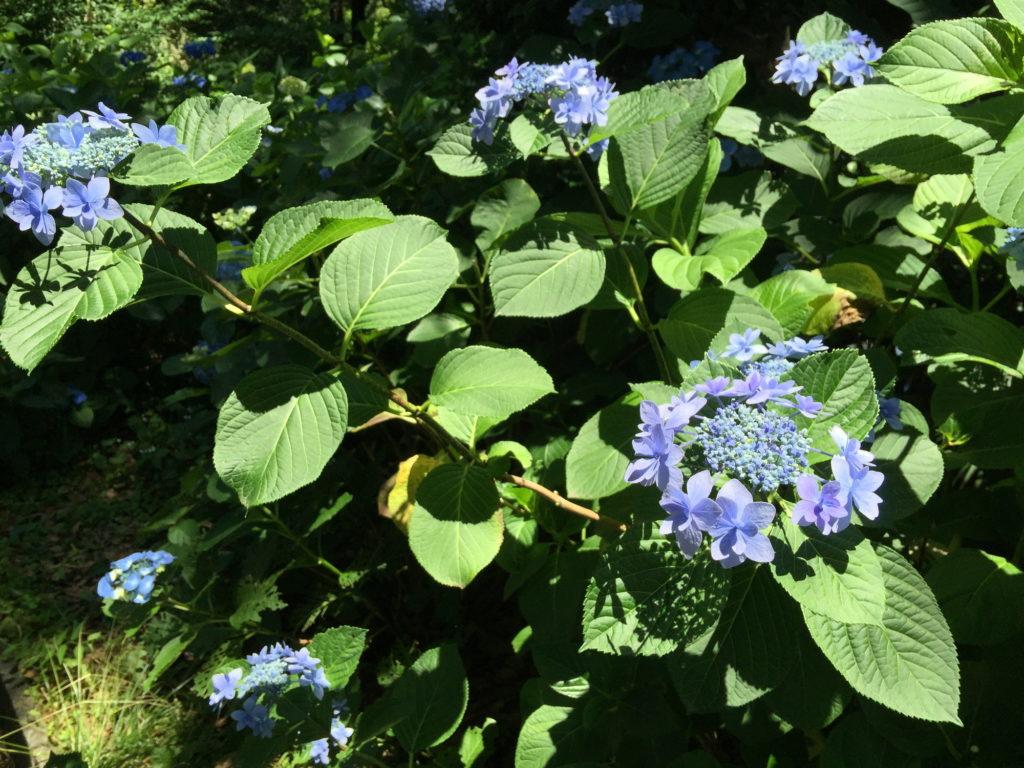 水色の紫陽花