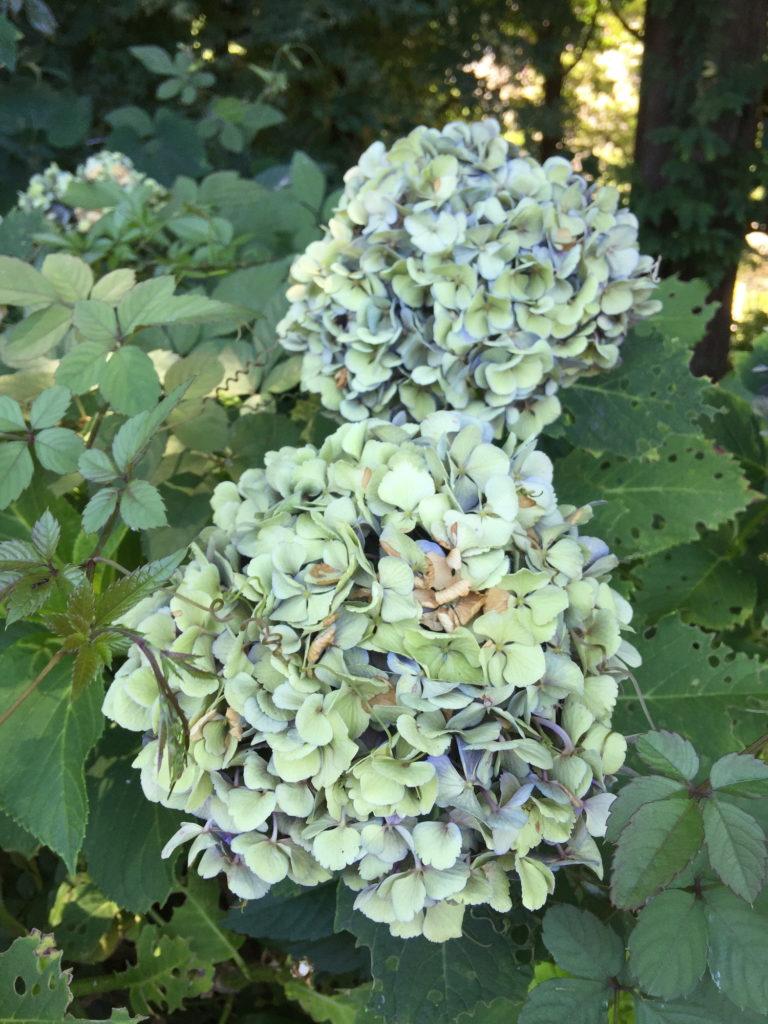 梅雨の終わりの枯れゆく紫陽花