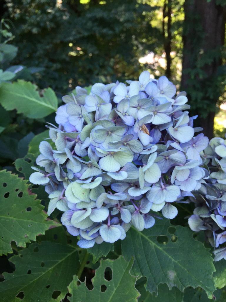 梅雨の終わりの青い紫陽花