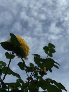 曇り空をバックにした黄色いバラの後ろ姿