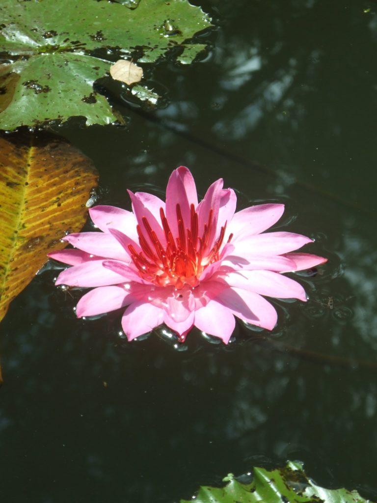 バリ島で見た蓮の花