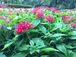 新宿御苑の赤い小さな花その2