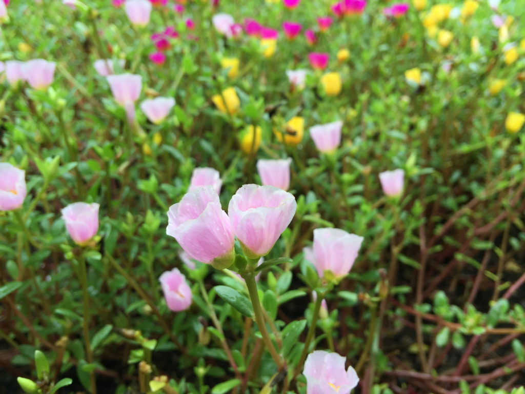 新宿御苑のピンクの小さな花