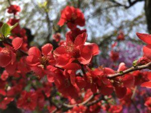 春に咲く赤い花