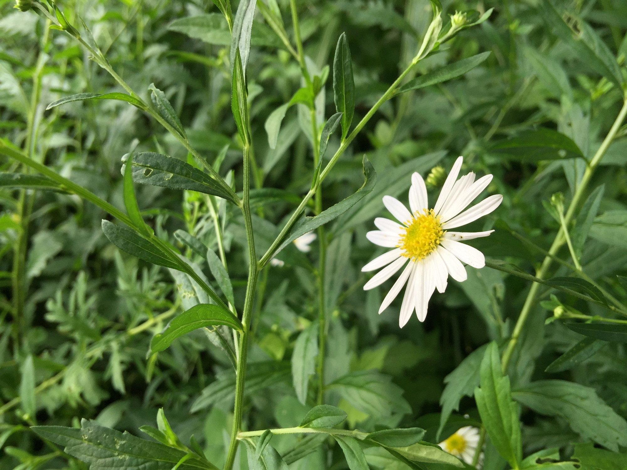 駒ヶ根の白い花
