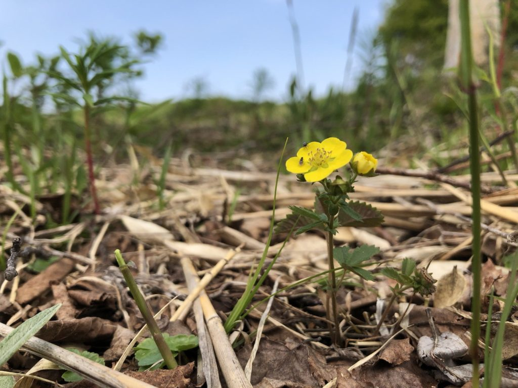 安比高原に咲く黄色い花