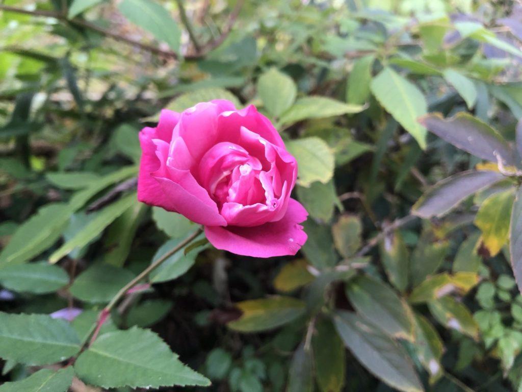 駒ヶ根に咲くピンクの花