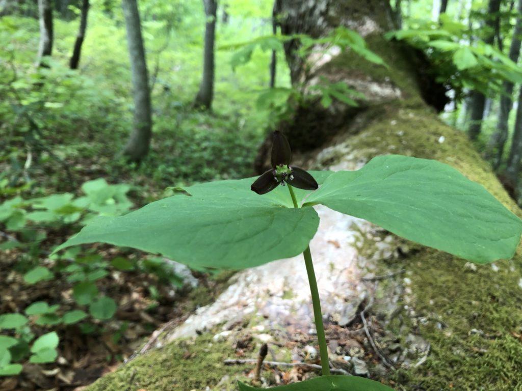 森の中の黒い花