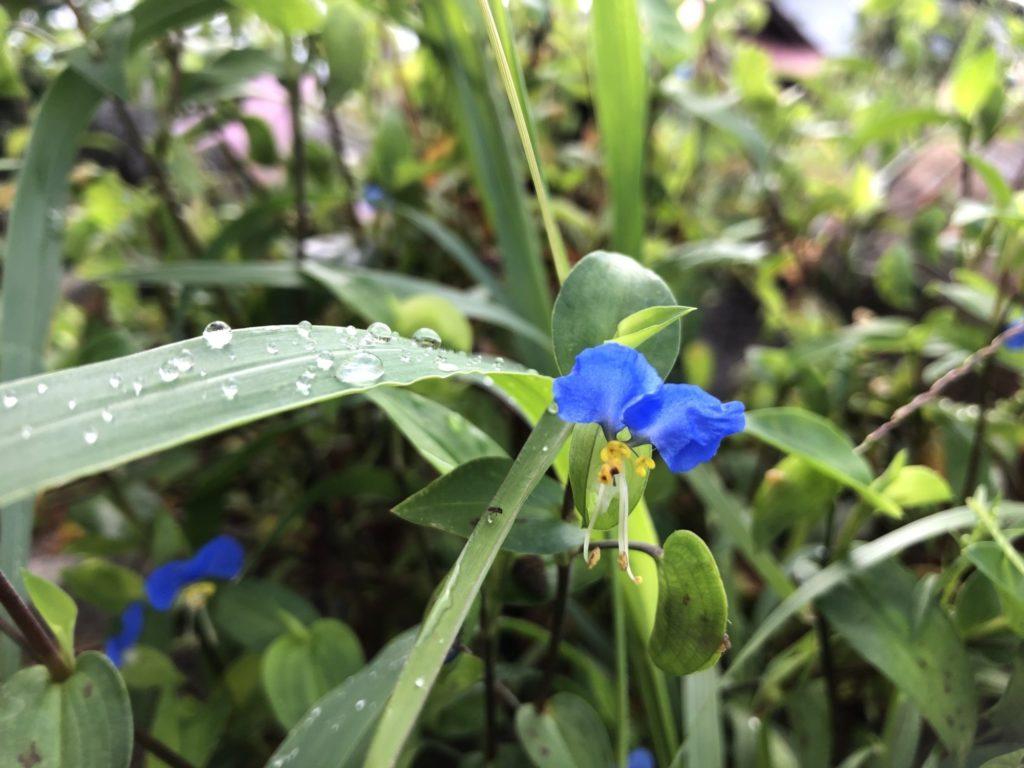 朝露と青い花