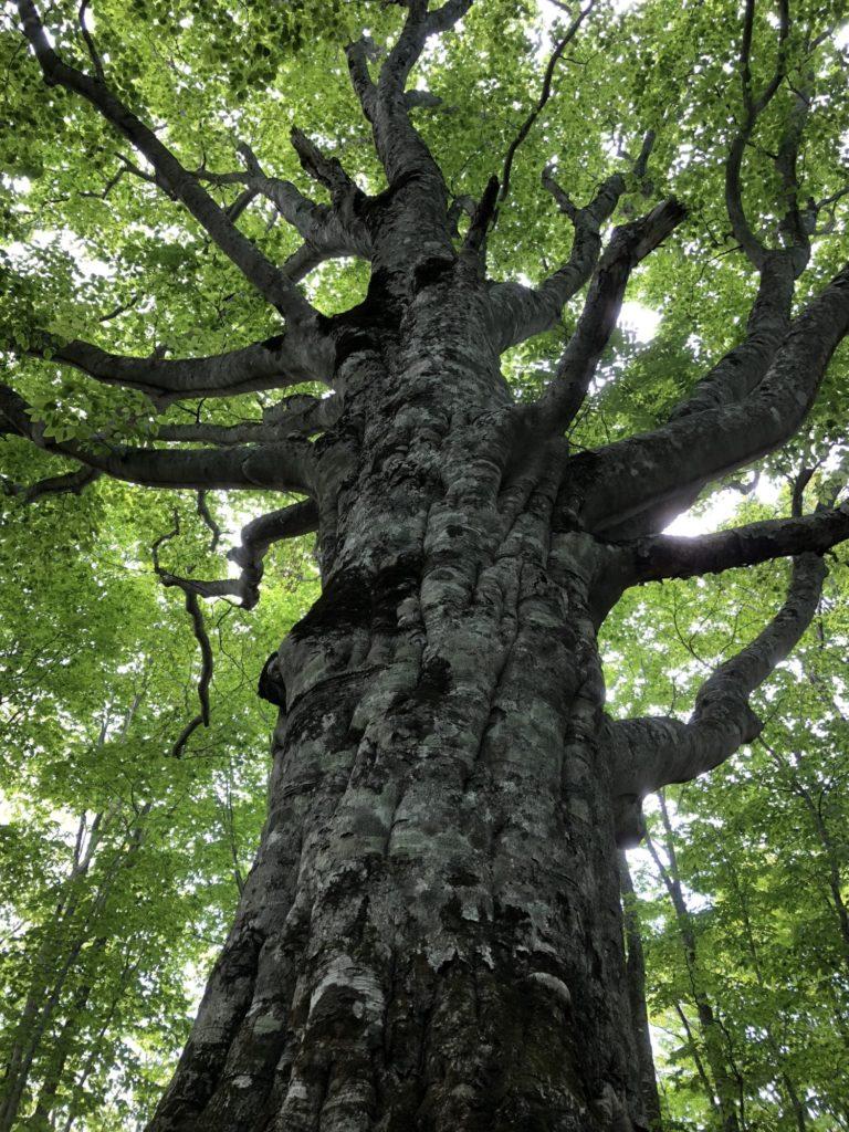 ブナ林の大木