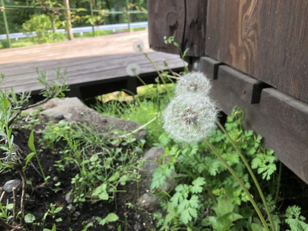 木の家の側に生えるタンポポの綿毛