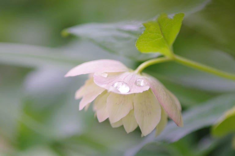 ハスの花と雫